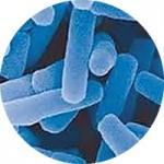 アシドフィラス菌